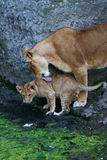 henne lionessmoderbarn Arkivbild