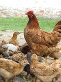 Henne mit den Hühnern, die das Korn essen Stockfotografie