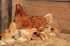 Henne mit Hühnern Stockbilder