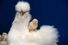Henne mit Hühnern stockfotos