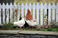 Henne und Enten durch einen Zaun Stockfoto