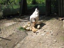 Henne und Hühner Stockbild