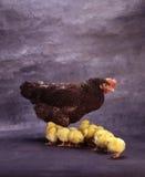 Henne und kleine Hühner Stockfotos