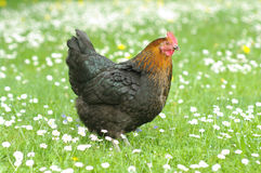 Hennen. Hen outside in the meadow Royalty Free Stock Photo
