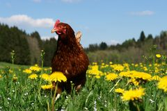 Hennen. Hen outside in the meadow Stock Photo