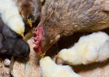 Hennen auf Biobauernhof Stockfotografie