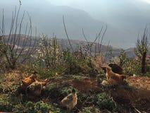 Hennen auf dem Berg Stockbild