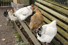 Hennen auf einer Bank stockfotos