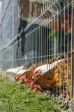 Hennen, die Gras essen stockfotografie