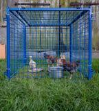 Hennen eingeschlossen im zu kleinen blauen Käfig im Dorf Lizenzfreies Stockfoto