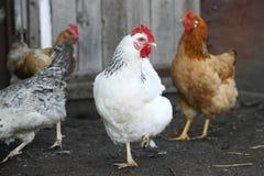 Hennen, Geflügel Stockfotos