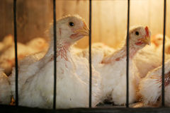 Hennen im Korb auf Hühnerbauernhof Lizenzfreies Stockfoto