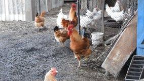 Hennen im Yard eines Hühnerstalls stock video footage