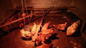 Hennen und ein Hahn im Hühnerhaus stock footage