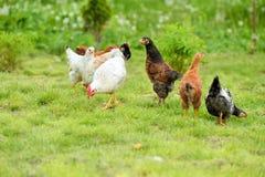 Hennen und Hühner Stockfotos