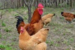 Hennen und Hahn Stockfotos