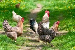Hennen und Hahn Lizenzfreies Stockfoto