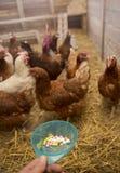 Hennen und Pillen Stockfoto