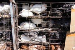 Hennenhennen werden in den festen Käfigen geschlossen stockfotos