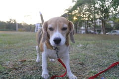 Hennes namn är Chamoy Hund i Thailand Royaltyfria Foton