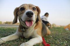 Hennes namn är Chamoy Hund i Thailand Royaltyfria Bilder