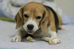Hennes namn är Chamoy Hund i Thailand Royaltyfri Bild