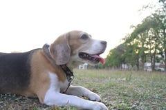 Hennes namn är Chamoy Hund i Thailand Arkivfoton