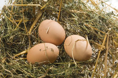 Henns eggs on poultry deep litter Stock Images
