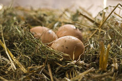 Henns eggs on poultry deep litter Stock Photo