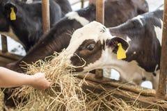 Heno de alimentación a la vaca del bebé Fotografía de archivo libre de regalías