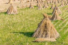 Heno de la paja del arroz en residuos del campo foto de archivo