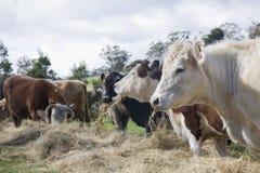 Heno para las vacas imagen de archivo libre de regalías