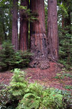 Henry Cowell Redwoods State Park, California Stock Images
