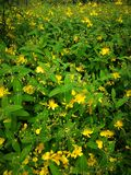 henryi do hypericum Foto de Stock Royalty Free