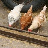 Hens Stock Image