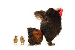 Hens Stock Photos
