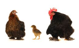 Hens. On a white background Stock Photos