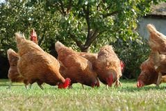 Hens. Group of hens on the farm yard Stock Images