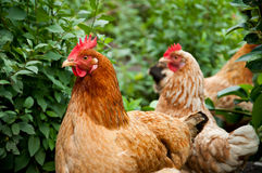 Hens Royalty Free Stock Photos
