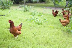 Hens. Outside of the henhouse Royalty Free Stock Photo