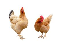 Hens. Two hens Stock Photography