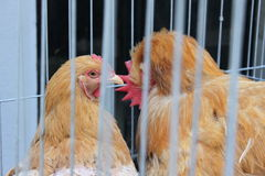 Hens captive Stock Photos