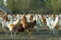 Hens. Free-roaming white and brown hens Stock Photo