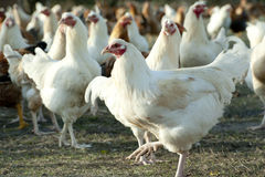 Hens Royalty Free Stock Images
