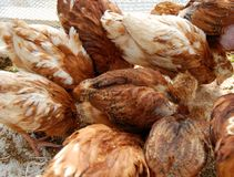 Hens. A lot of hens in a coop, the top view Stock Images