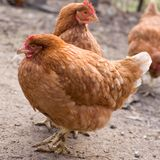 Hens Royalty Free Stock Image