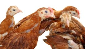 Hens. Group of hens isolated on white Royalty Free Stock Image