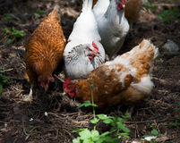 Hens. And roosters in the woods, something to eat Stock Image