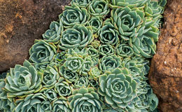 Free Hens And Chicks (Echeveria Elegans) Between Two Rocks Stock Photo - 36094870
