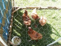 Hens in the cage Stock Image